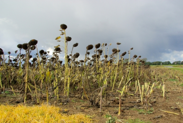 822744-sonnenblumenfeld-duerre-sunflower-field-drought-04